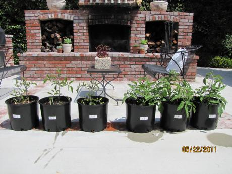 How will fertilizer affect the growth of tomato plants?